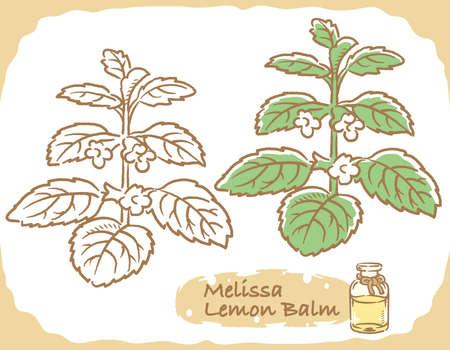 Illustration of lemon balm and aromatherapy bottle. Vector illustration. Illustration