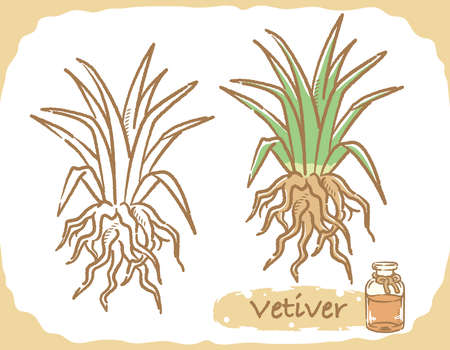 Illustration of vetiver and aromatherapy bottle. Vector illustration. Vector Illustration