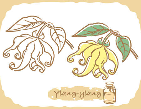 Illustration of ylang-ylang and aromatherapy bottle. Vector illustration.