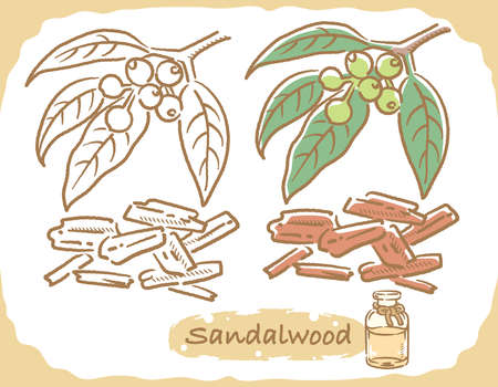 Illustration of sandalwood and aromatherapy bottle. Vector illustration.