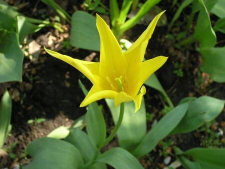 yeloow: Yeloow tulip Stock Photo