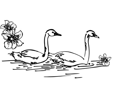 Sketch drawing - couple of swans Vector