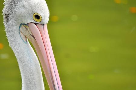 Pelican bird background