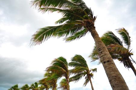 palms at hurricane Stock Photo