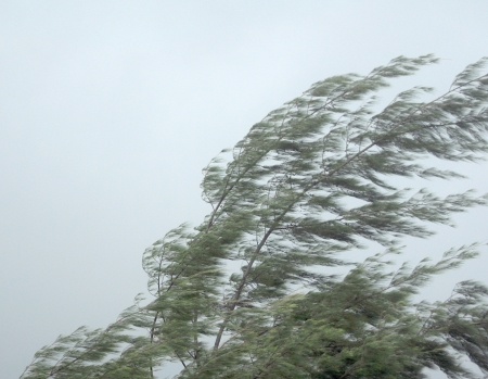 gale: Pine tree in storm Stock Photo