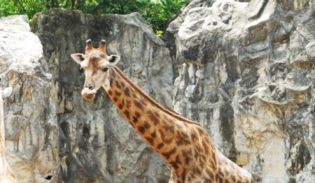 Giraffe put on its tongue photo