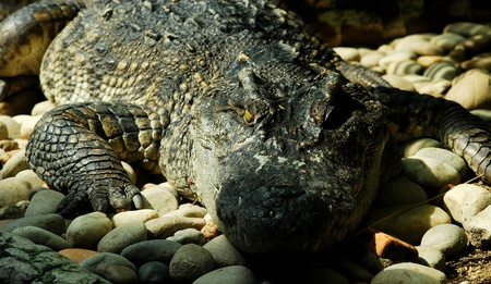 Crocodile close up with shadow shade from lighting make it more fearful