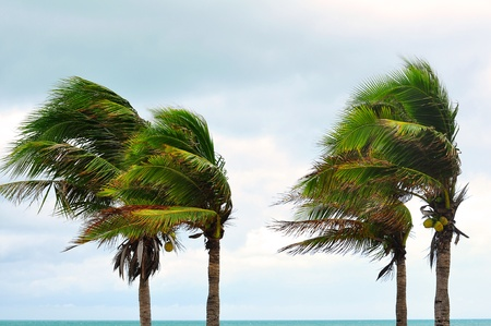 tornado wind: palms at hurricane Stock Photo