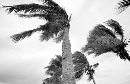 palms at hurricane on black and white mood