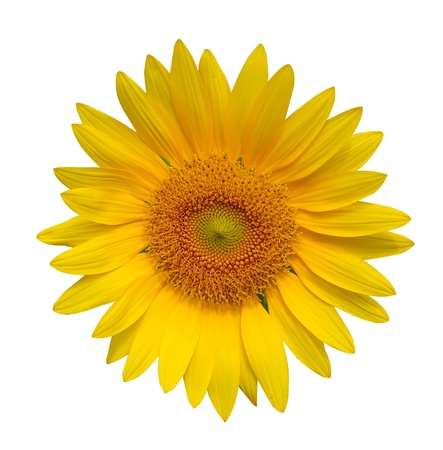 Sun flower Isolate with white background photo