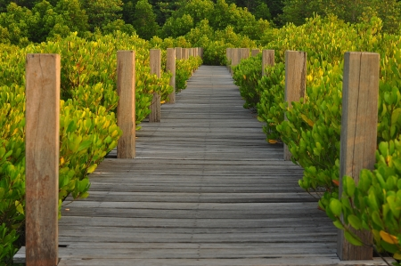 Mangrove forest with nice walk way in sun set theme photo