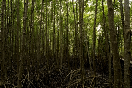 Massive mangrove trees make up extensive forests Stock Photo
