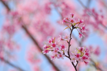 Beautiful cherry bloom background