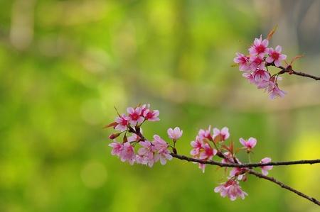 Beautiful cherry bloom background