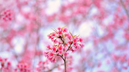 Pink sakura on Doi Ang Khang, Chiang mai Thailand