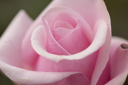 Pink rose close up shot photo