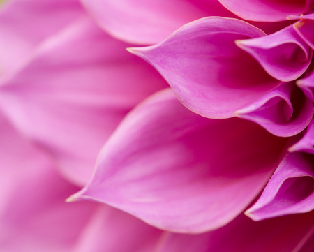 Close up of pink flower   aster with pink petals and yellow heart for background or texture