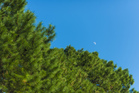 pine trees: waxing   waning crescent moon phase with silhouette forest pine trees and midnight blue sky cresent