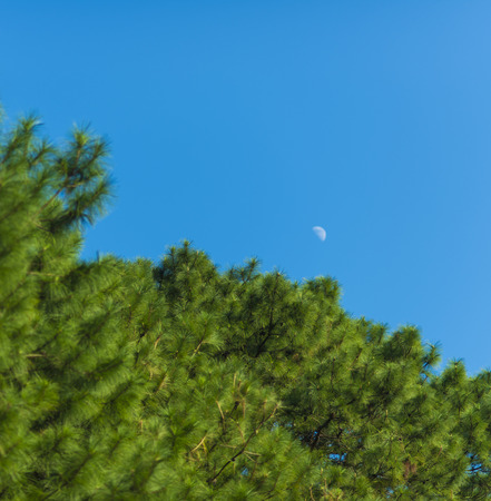 waxing   waning crescent moon phase with silhouette forest pine trees and midnight blue sky cresent photo