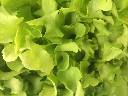 Hydroponic fresh green lettuce  photo
