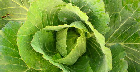 cabbage patch: cabbage