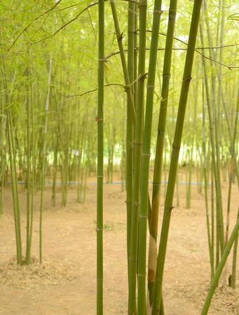 fengshui: Fresh green Bamboo Stock Photo