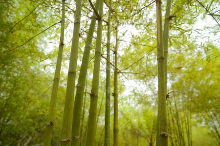 Fresh green Bamboo Stock Photo
