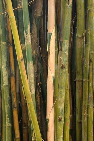 fengshui: Bamboo