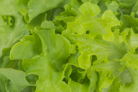 closed up of green oak lettuce Stock Photo