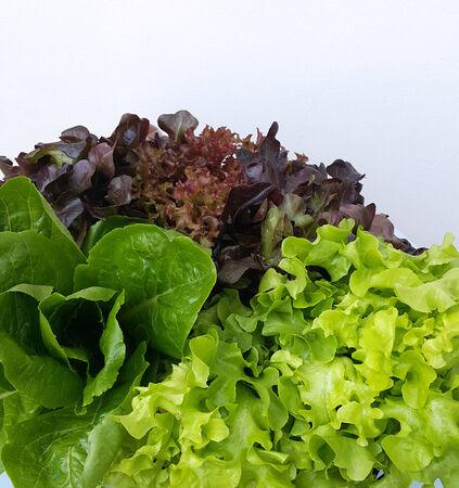 Fresh  Hydroponics vegetables