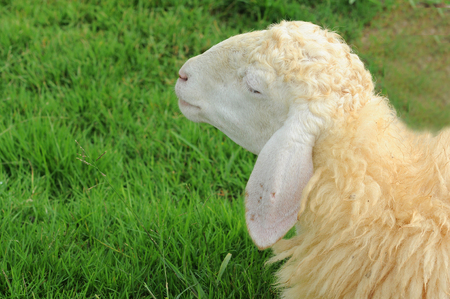 woolly: White Woolly Sheep Grazing in a Green Field Stock Photo