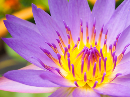 Violet Lotus Flower Closeup