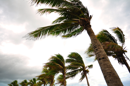 storms: Palm tree at the hurricane, Blur leaf cause windy and heavy rain