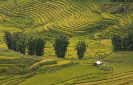 Rice fields on terraced of SAPA, Vietnam. Rice fields prepare the harvest at Northwest Vietnam