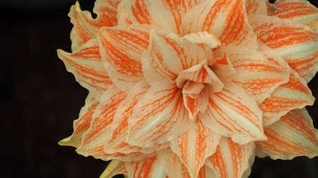 hippeastrum flower: Beautiful multi color Hippeastrum flower Stock Photo