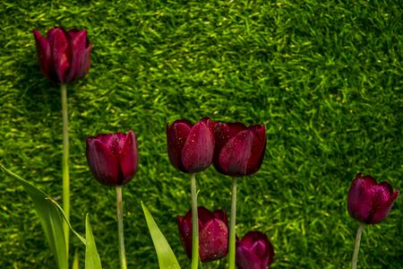 ornamental garden: Beautiful giant Tulips in the garden, Selective Focus