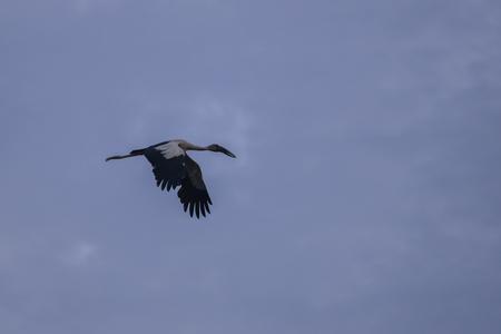 openbill: The Asian openbill or Asian openbill stork (Anastomus oscitans) flying