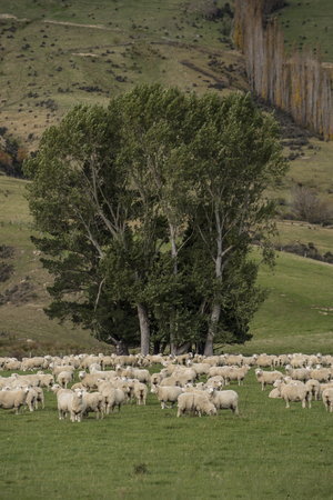 Sheep with beautiful landscape at New Zealand