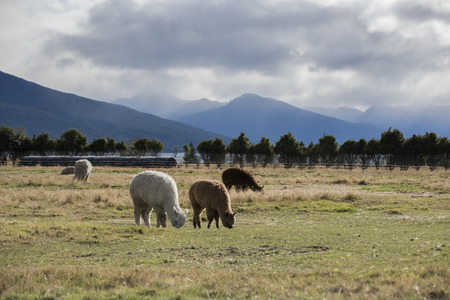 Alpaca against grass land and mountain on background Stock Photo