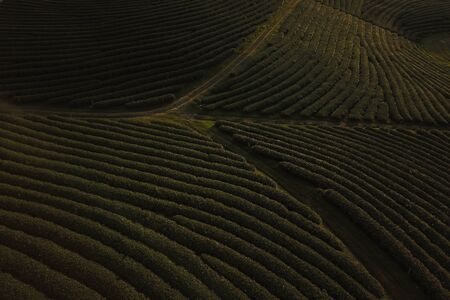 Tea crop farm arrangement taking from bird eye view