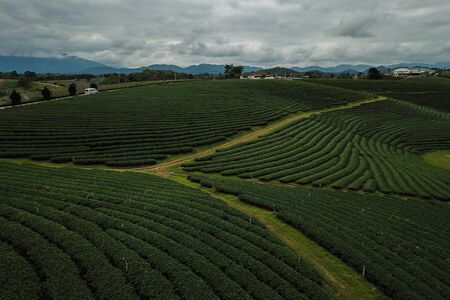 Tea crop farm arrangement taking from bird eye view