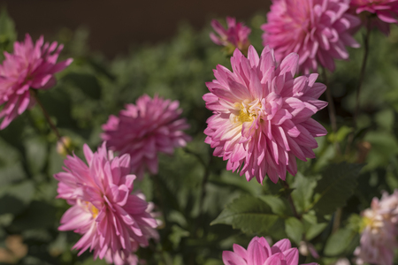 Pink Chrysanthemum flower in nature Stock Photo
