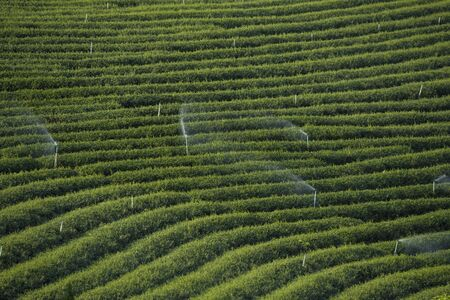 Chui-Fong terraced tea garden Stock Photo