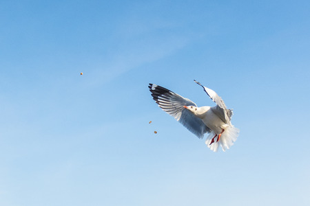 Amazing flying action of Seagulls bird at coast