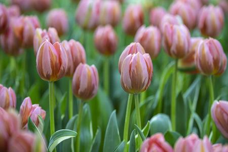Beautiful tulips flower in the garden