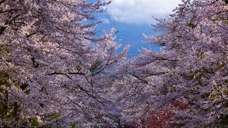Nice sakura blossom with sky