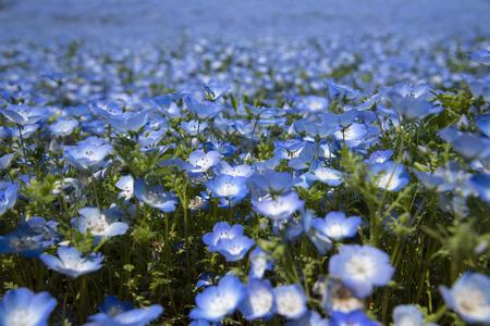 Nemophila flowers garden at Hitashi seaside park,ibaraki,Japan