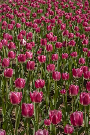 Beautiful tulip against sun light in the garden