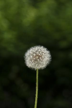 Dandelion white flower on the green background