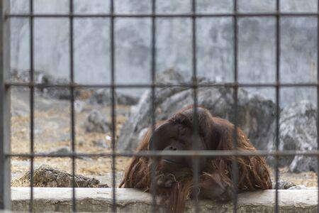 Saddness Wildlife Orangutan monkey live in prison zoo cage Stock Photo